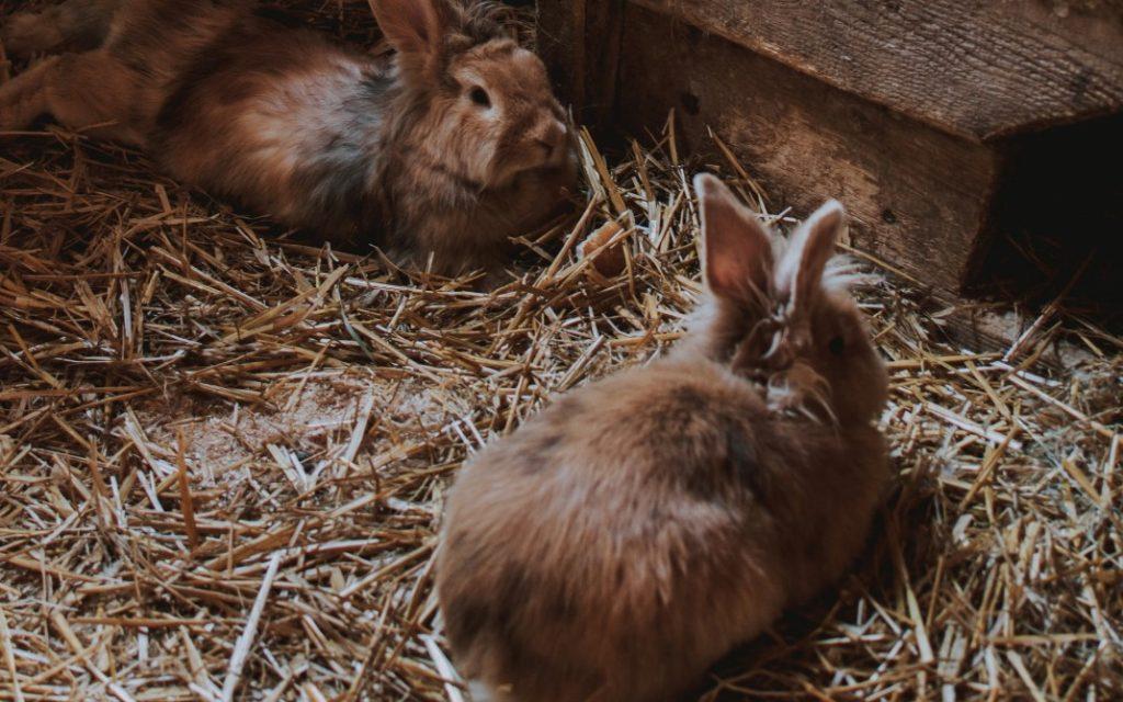 rearing rabbits