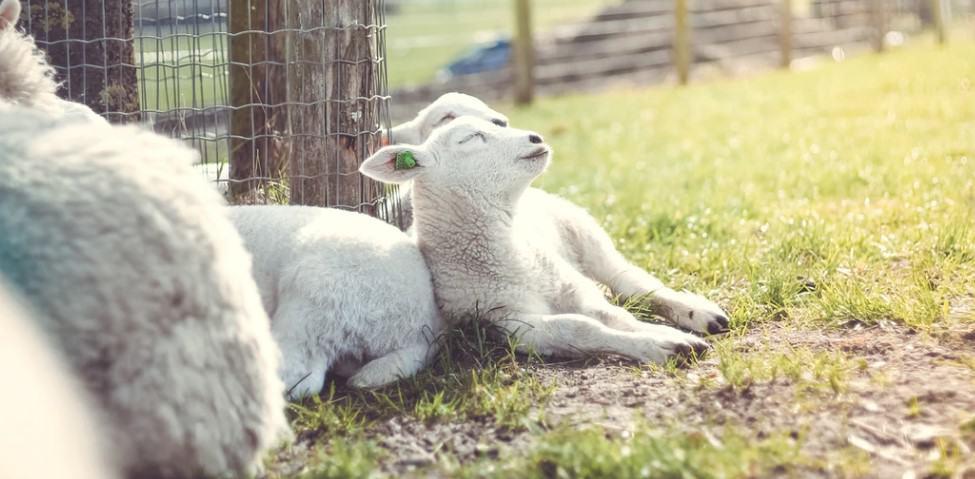 keeping sheep in a farm