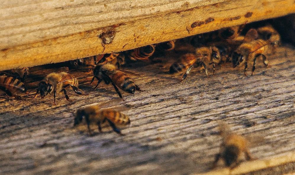 easy to keep honeybees