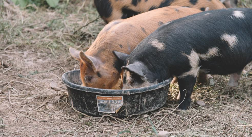 rearing pigs for money