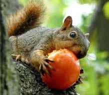 squirrels damaging tomatoes
