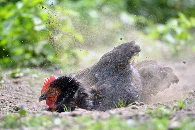 keep chicken from invading your garden